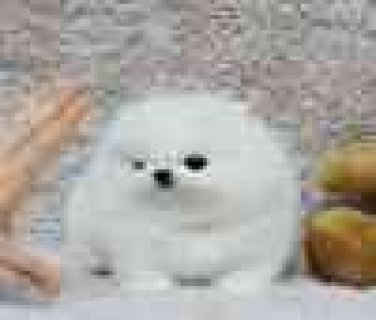 Cute Baby Face Akc Registered Teacup Pomeranian Puppies Ready