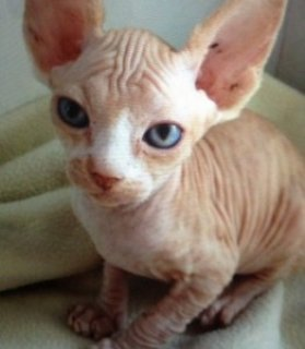 Bold and Wrinkly Sphynx Kittens....///