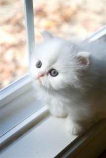 Absolutely Beautiful Persian Kitten///////////////////