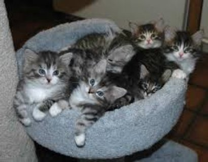 Siberian Kittens for free adoption/////////
