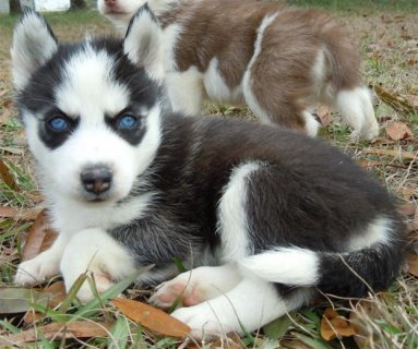 Siberian Husky Puppies with Blue Eyes For Rehoming1122