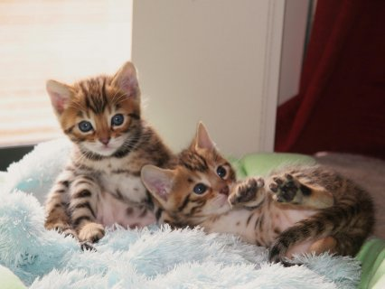Playful and vaccinated Bengal Kitten for sale11222