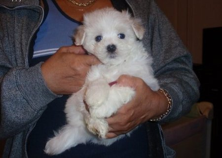 Cute male and female Snow white Maltese puppies to give it out 0
