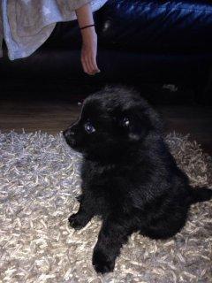 Teacup Black And Grey Pomeranian Puppies22223