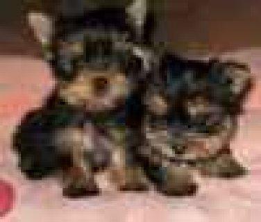 Teacup Yorkies ready for free adoption