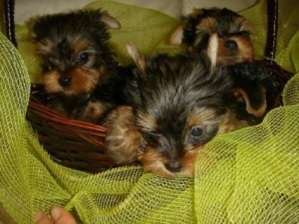 Teacup Yorkies Puppies