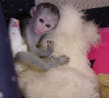 Female White Faced Capuchin Monkeys