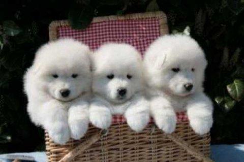 Super Cute Samoyed Puppies