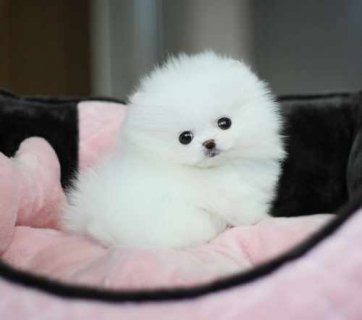 Cut male and female.Tiny Teacup Pomeranian for adoption