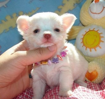 ///home trained chihuahua puppies ready for re-homing///////////
