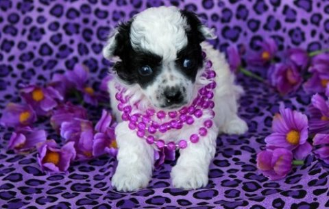 Toy Poodle puppies ..............