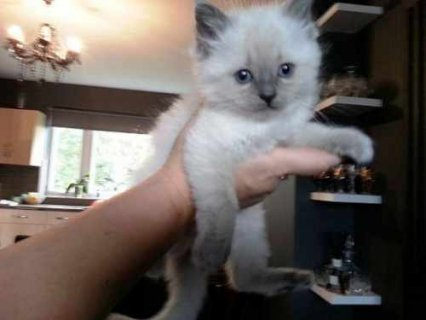 Adorable RAGDOLL KITTENS for adoption