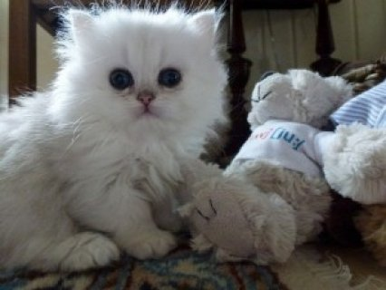 Cute Persian Kittens Available for adoption?????