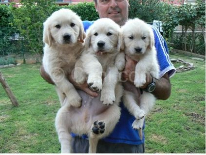 Cute AKC Golden Retriever Puppies For Re-homing Now Available
