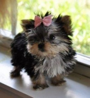 Two cute and good looking Teacup Yorkie puppies ready now