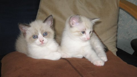 Cute male And Female Ragdoll kittens For sale
