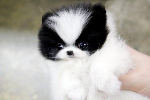 Pure White Maltese Puppies