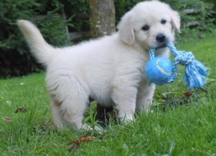 Golden Retriever Puppies for adoption