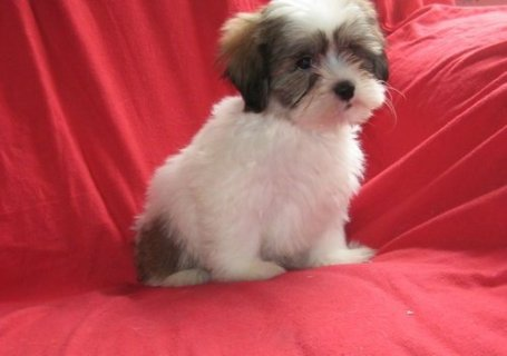 Well Trained shih tzu Puppies