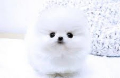 cute manle and female pomeranian puppies for adoption