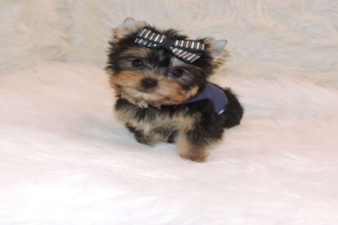 صور Teacup Yorkie Now Available For Rehoming 1