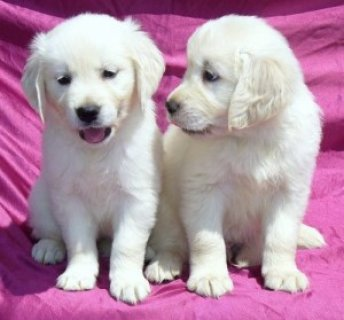 2 Playful Golden retriever Puppies For Rehoming