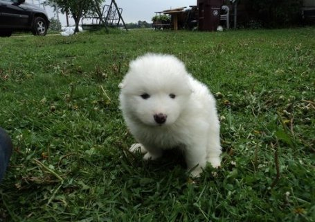 2 Adorable Samoyed puppies for sale.