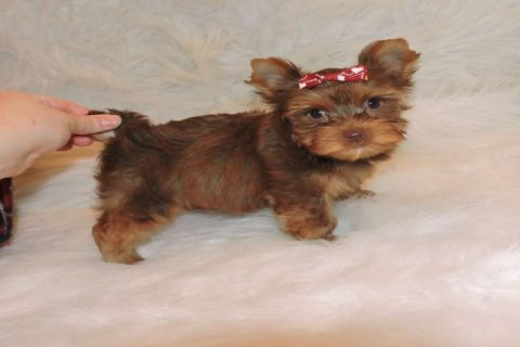 صور Chocolate Teacup Yorkie Puppies Available For New Homes 1
