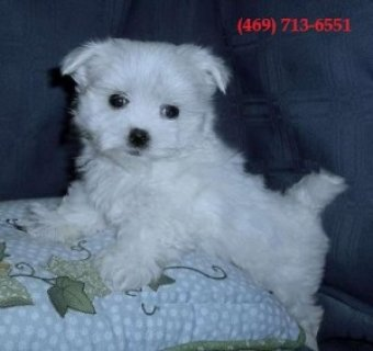 Cute Teacup Maltese Puppies for Sale