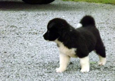 lovely Akita puppies for sale