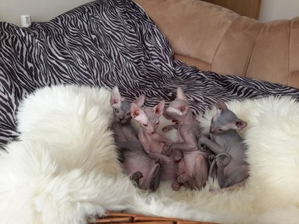 صور Lovely Sphynx Kittens For Sale 1