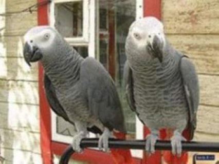 African Grey Parrots for sale...,m..,.