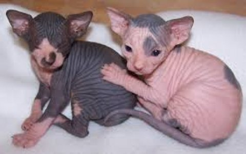 Cute male and female Sphynx Kittens for sale