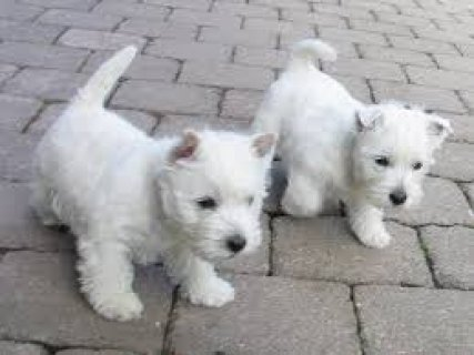West Highland White Terrier puppies now available for sale