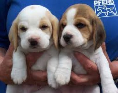 صور Lovely Beagle Puppies Available Now.. 1