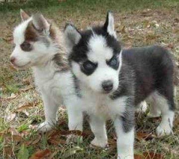 Siberian Husky Puppies For sale...
