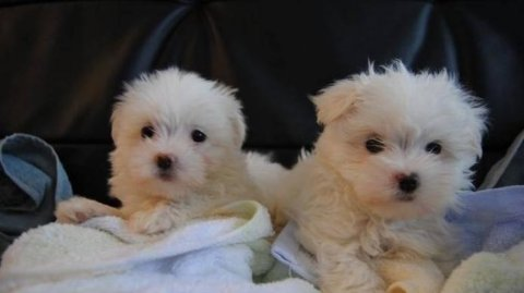 Gorgeous Maltese littler 2 girls and one boy left.