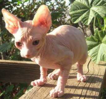 Sphynx kittens ready now