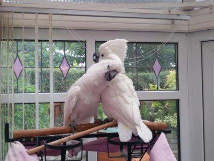 Cockatoo Parrots 9 months