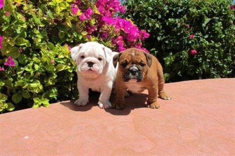 Top Champion English Bulldog (Male and Female) Puppies