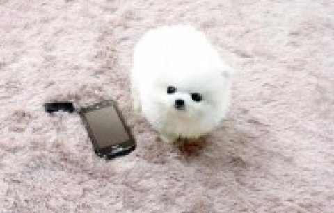 white teacup pomeranian puppies available for free adoption.