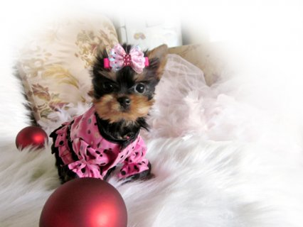 صور  2 nice yorkie puppies available Now 1