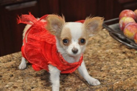 Cute Applehead Chihuahua pup