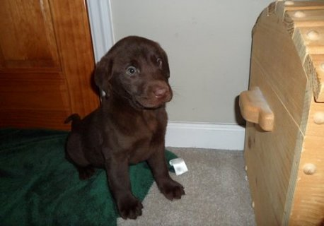 صور Labrador Retriever puppies for Adoption 1