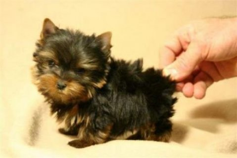 Teacup Yorkie Now Available For Rehoming   2