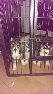 Lovely And Wonderful Looking Siberian Husky Puppies For Sale
