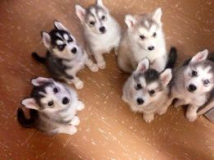 صور Excellent Siberian Husky Puppies for sell 1
