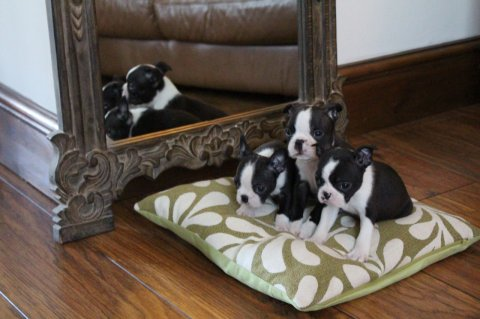 Beautiful Black brindle and white Boston Terrier Puppies For Sal