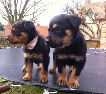 Male and Female Rottweiler Puppies For Sale