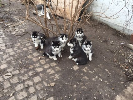 Affectionate Siberian husky  Available